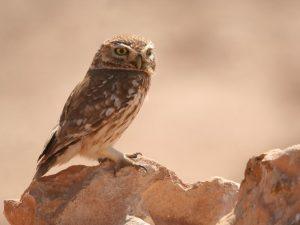 Little-Owl-Morocco