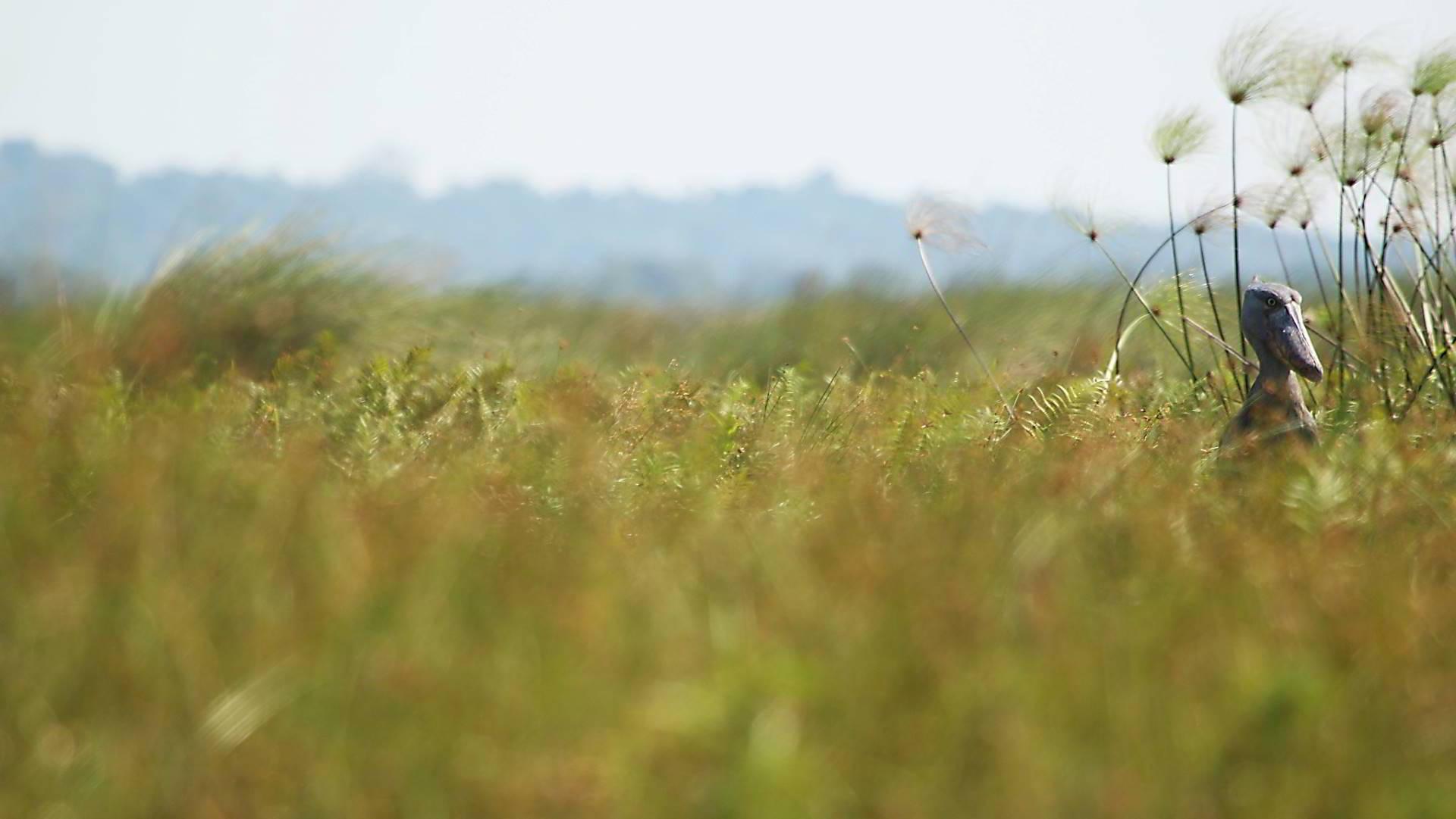 Mabamba-Swamp-Uganda