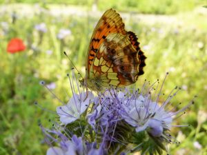 Marbled-Fritillary-Vercors