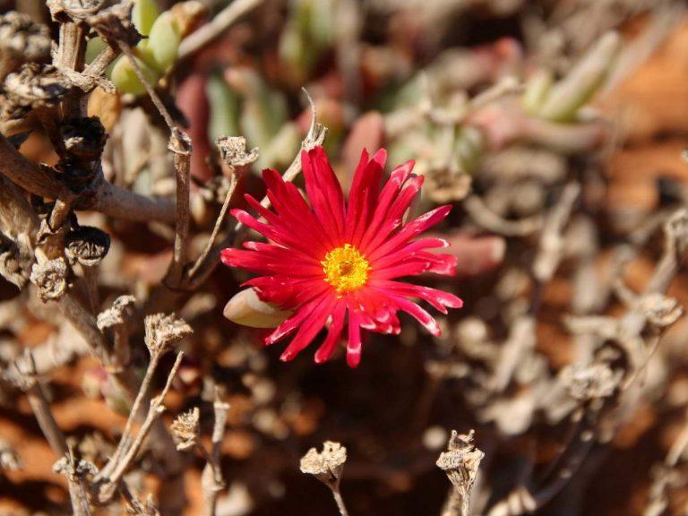 Melephora-purpurea-crocea-South-Africa
