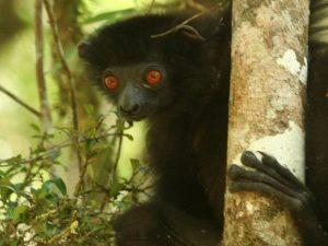 Milne-Edward's-Sifaka-Madagascar