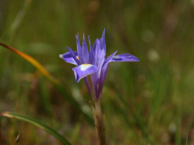 Moraea-sisyrinchium-Portugal