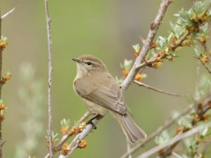 Mountain-Chiffchaff-Armenia