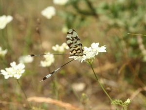 Nemoptera-sinuata-Macedonia