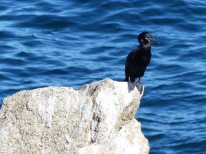 Neotropic-Cormorant-Chile