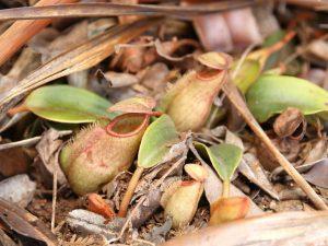 Nepenthes-vieillardii-New-Caledonia