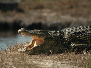 Nile-Crocodile-Botswana