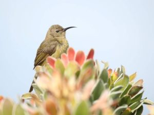Orange-breasted-Sunbird-South-Africa
