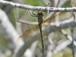Orange-spotted-Emerald-Dordogne