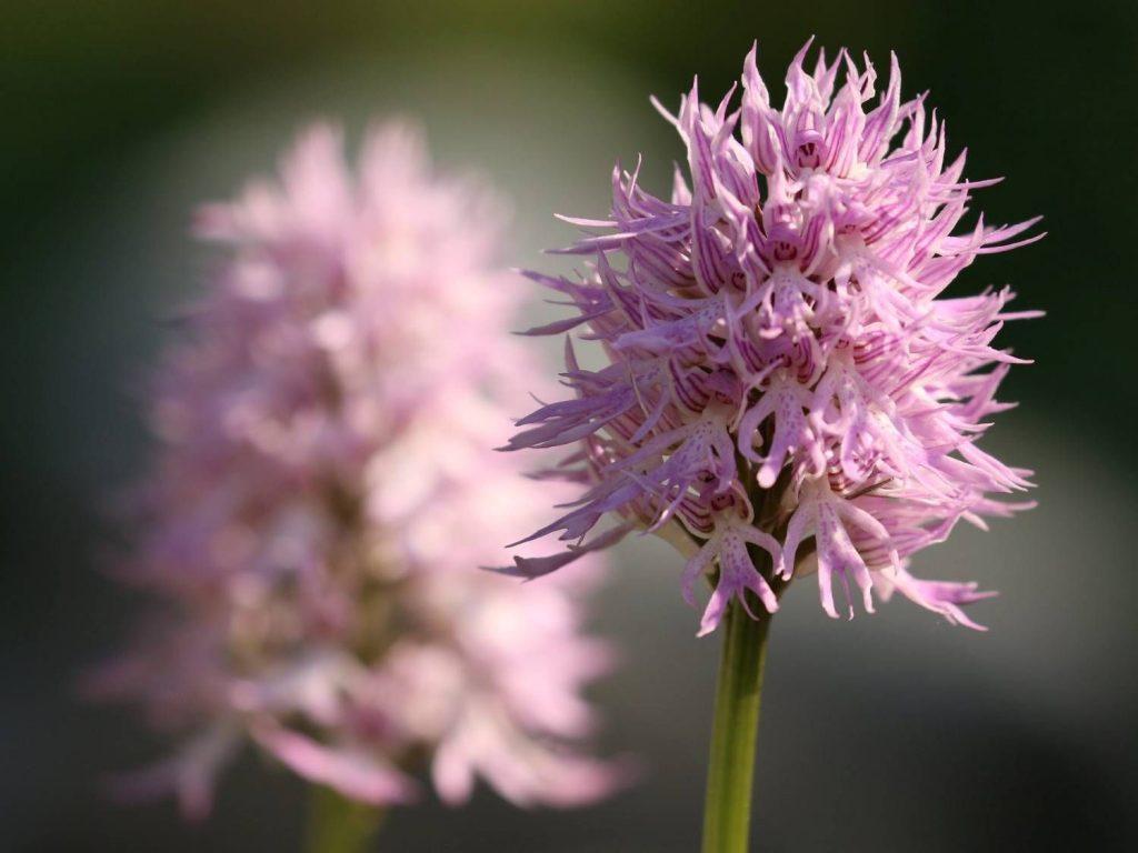 Orchis-italica-Gargano