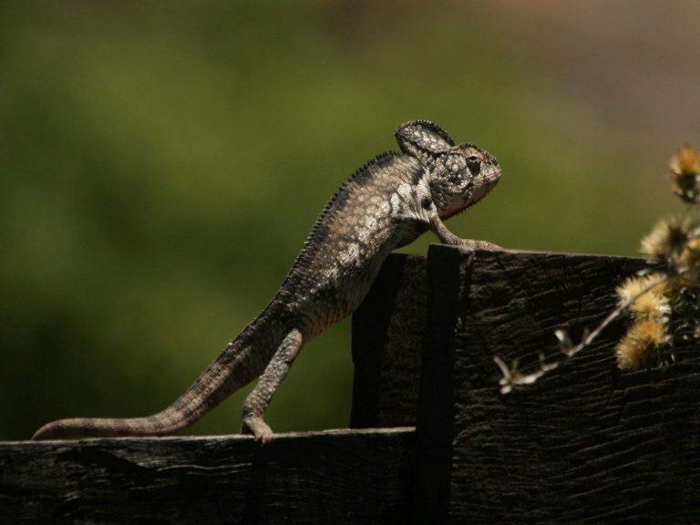 Oustalet's-Chameleon-Madagascar