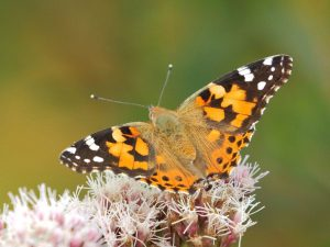 Painted-Lady-Devon