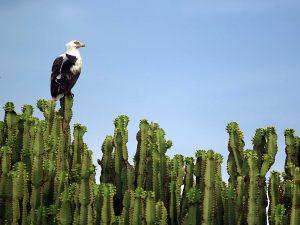 Palm-nut-Vulture-Uganda