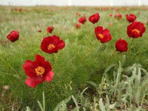 Peonia-tenuifolia-Bulgaria