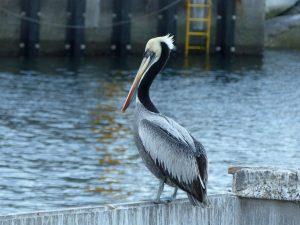 Peruvian-Pelican-Chile