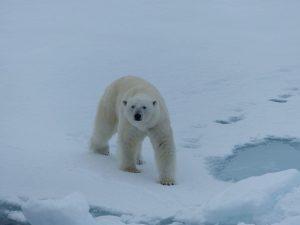 Polar-Bear-Svalbard