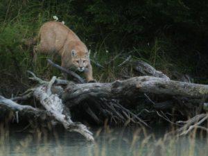 Puma-Chile
