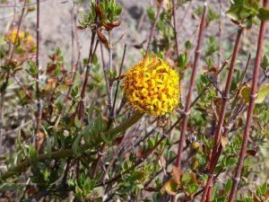 Quinchamalium-chilense-Chile