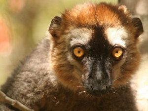 Red-fronted-Brown-Lemur-Madagascar