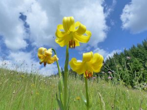 Lilium-rhodopeum-Bulgaria