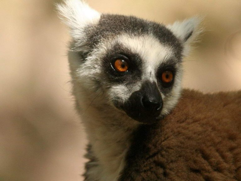 Ring-tailed-Lemur-Madagascar