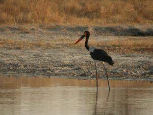 Saddle-billed-Stork-Botswana
