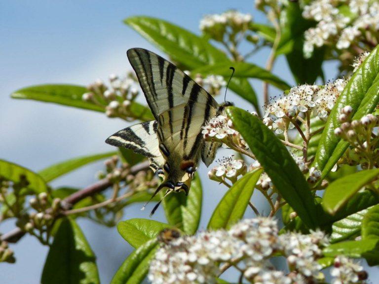 Scarce-Swallowtail-Vercors