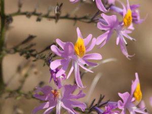 Schizanthus-hookeri-Chile