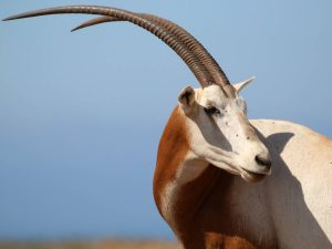 Scimitar-horned-Oryx-Morocco