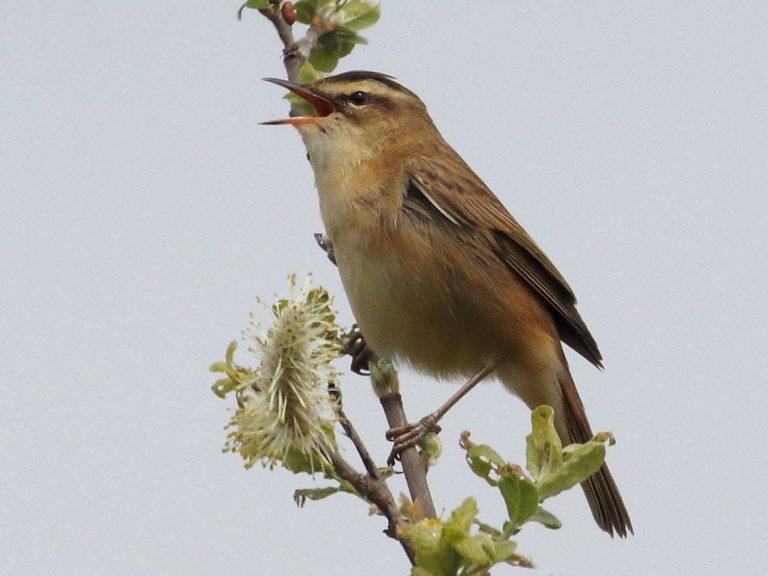Sedge-Warbler-Devon