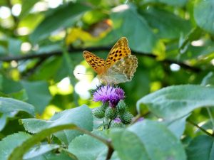 Silver-washed-Fritillary-Sussex