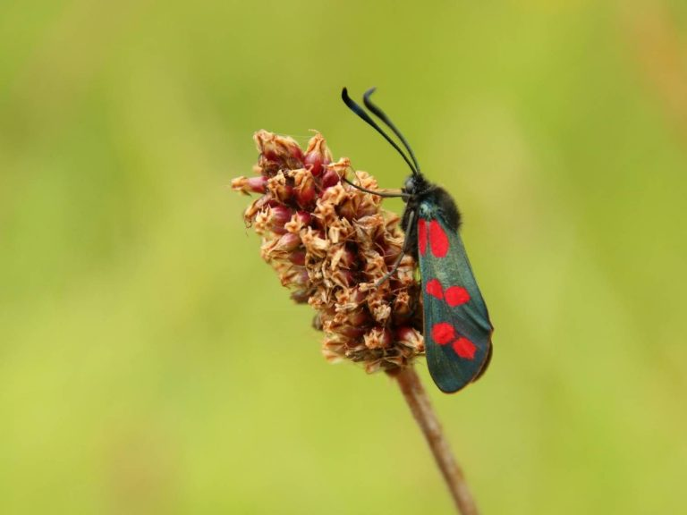 Six-spot-Burnet-Devon