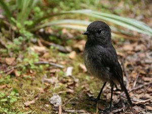 South-Island-Robin-New-Zealand
