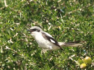 Southern-Grey-Shrike-Morocco