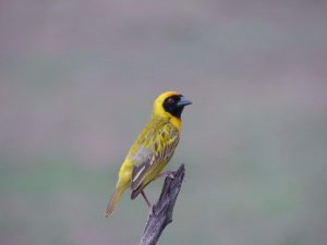 Southern-Masked-Weaver-South-Africa