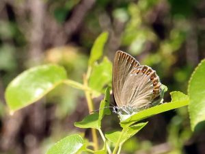 Spanish-Purple-Hairstreak-Cevennes