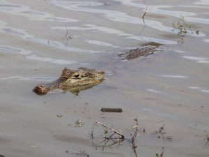 Spectacled-Caiman-Colombia