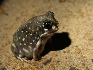 Spotted-Burrowing-Frog-Australia