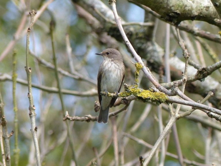 Spotted-Flycatcher-Sussex
