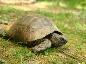 Spur-thighed-Tortoise-Bulgaria