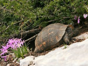 Spur-thighed-Tortoise-Turkey