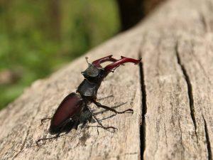 Stag-Beetle-Transylvania