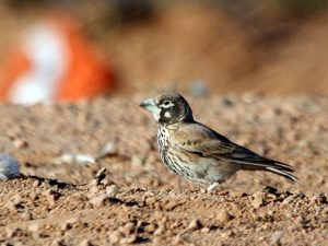 Thick-billed-Lark-Morocco