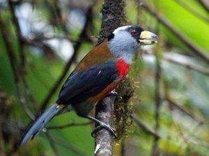 Toucan-Barbet-Ecuador
