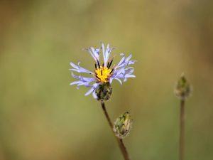 Volutaria-crupinoides-Morocco