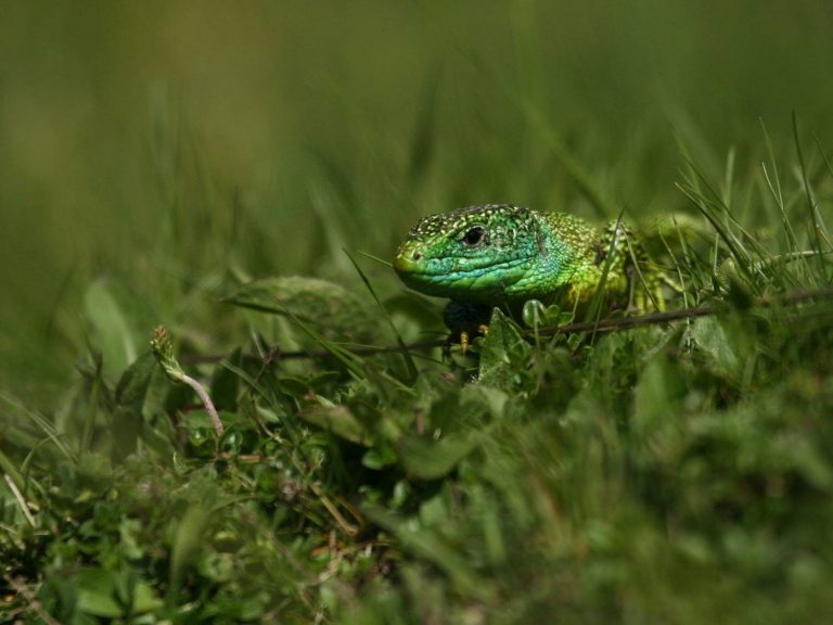 Western-Green-Lizard-Aragon