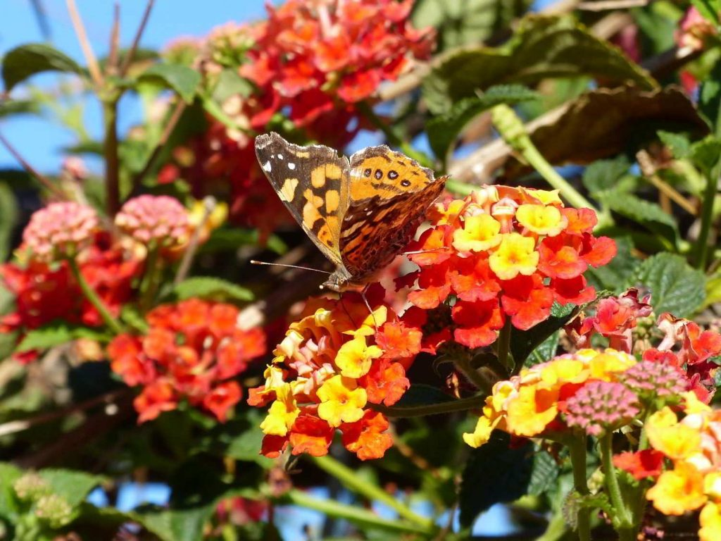Western-Painted-Lady-Chile