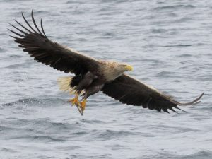 White-tailed-Eagle-Mull