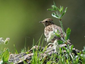 Woodlark-Portugal