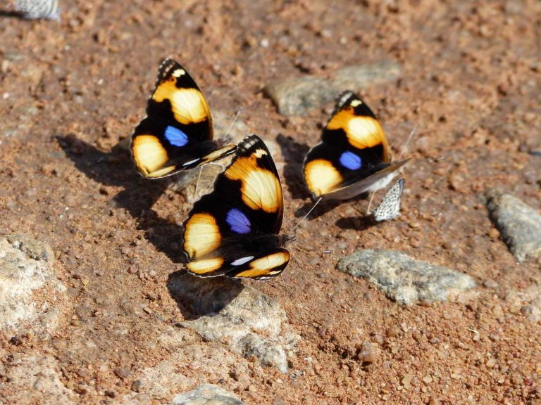 Yellow-Pansy-South-Africa